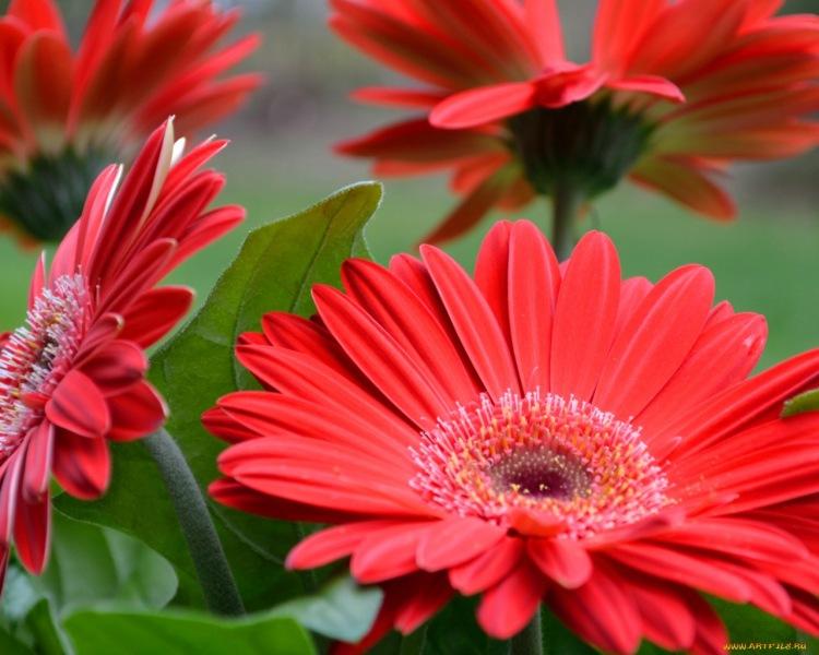 Фото цветы герберы на рабочий стол