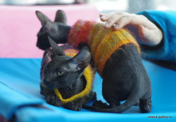 Выставка кошек ижевск