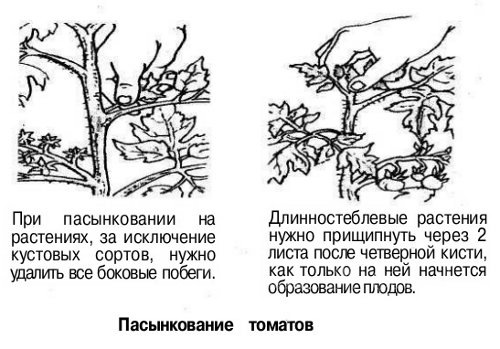 Пасынкование томатов пошагово